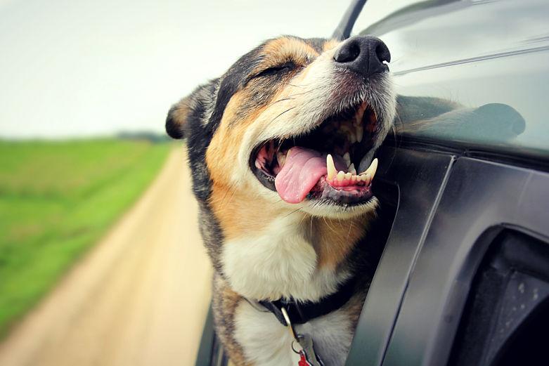 Consejo viajar perro coche